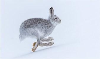 14.Running Mountain Hare-Phillipa Wheatcroft_resize