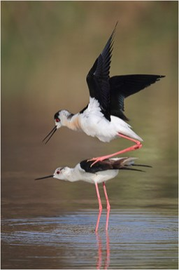 BLack-winged Stilts mating - Paul Keene