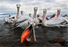 Dalmation Pelican fishing - Margaret Tabner