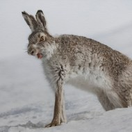 FIAP Ribbon-Yawing Mountain Hare-Ian Mitchell-Scotland