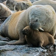 GPU Gold-Protective Mother Walrus-Christine Mallett-England