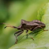 GPU Ribbon-Coreus Marginatus, Dock Bug-Ann Margaret Miles-England