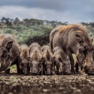 GPU Ribbon-Warthog Family at the Waterhole- Neville Turton-England