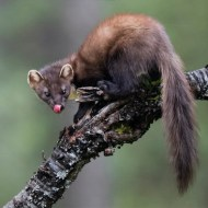 PSA Gold Medal-Female Pine Marten-Ian Mitchell-Scotland