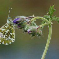 RPS Ribbon-Male Orange-Tip Butterfly on Geranium Flower Buds-Francesca Bramall-England