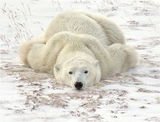 Relaxing on the tundra - Michael Windle