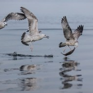 SPS Ribbon-Juvenile Herring Gulls with Fish-Anna Warrington-England