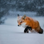 SPS Ribbon-Red FoX Hunting in Heavy Snow-Francis King-Canada