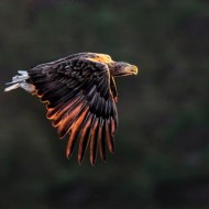 SPS Ribbon-White Tailed Sea Eagle at Sunset-Michael Windle-England