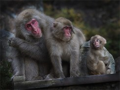 Snow Monkey Family - Peter Siviter