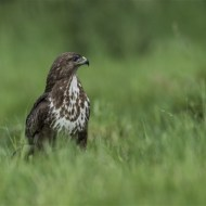 commended-buzzard-robert tunstall