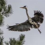 commended-grey heron-sue vernon