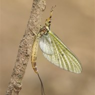 fiap ribbon-mayfly at rest-stan maddams lrps cpagb-england