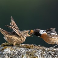 fiap ribbon-stonechat with young-iain mcfadyen lrps efiapb-scotland
