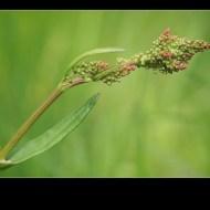 first-sorrel-philippa wheatcroft