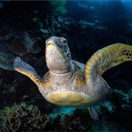 gpu silver medal-green turtle, bunaken island-david keep arps bpe4 cpagb-england