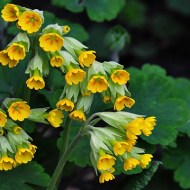 highly commended-cowslips-john holt
