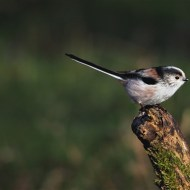 highly commended-long tailed tit-cheryl leyser