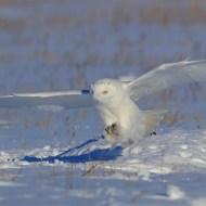 pagb ribbon-snowy owl-kusan wang-taiwan