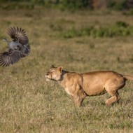 psa ribbon-lion flushes guinea fowl-leah gray-canada