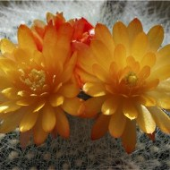 second-cactus flower-mike edwards