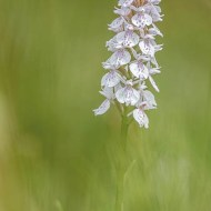 sps ribbon-ann margaret miles frps mpagb fbpe_england_heath-spotted orchid
