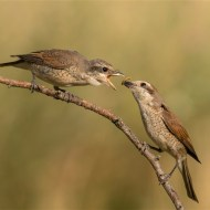 sps ribbon-red backed shrike feeding young-duncan s k hill efiapp mpagb bpe4-england