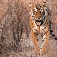 sps silver- emerging tigress janny webster