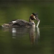 sps silver medal-great crested grebe feeding pike to chick-francesca bramall-england