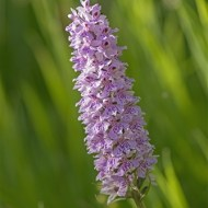 third-common spotted orchiddactylorhiza fuchsii-les ladbury