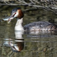 third-great crested grebe with fish-sue vernon