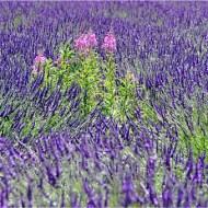 third-rosebay willowherb intruders on lavender-van greaves