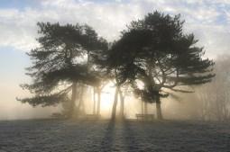 Winter Sun Through Pines
