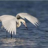 First-White Morph Reddish Egret Canopy Fishing-Dawn Osborn
