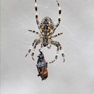 Commended-Garden Spider Encasing Wasp in Web (w)-Robert Jones