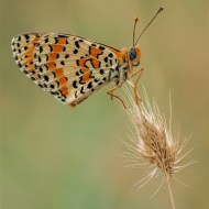 Commended-Spotted Fritillary-Geraldine Stephenson