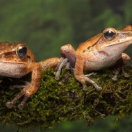 Commended-Tree Frogs-Peter Herreaman