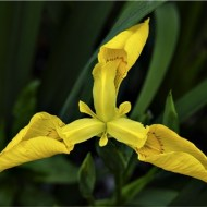 Commended-Yellow Iris-Mike Edwards