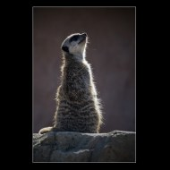 Highly Commended-Meerkat-Cheryl Leyser
