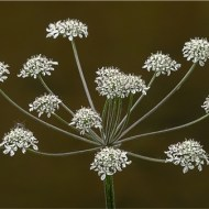 Third-Fine Leaved Water Dropwort-Trevor Swann