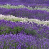 Commended-Lavendar Fields-Barbara Lawton