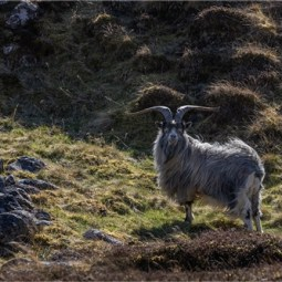 Commended-Mountain Goat-Alison J Fryer