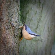 Highly Commended-Nuthatch-Ray Allen