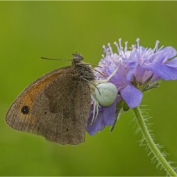 Second-Meadow Brown with Orb Spider-Robert Tunstall