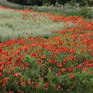 Second-Poppiy Field in Cambridgshire-Dinah Jayes