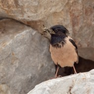 Second-Rose Coloured Starling with Food-Geraldine Stephenson