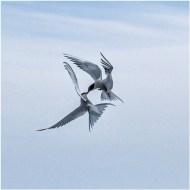 Third-Arctic Tern Squabble-Cheryl Leyser