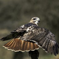Red Tailed Hawk-Dinah Jayes