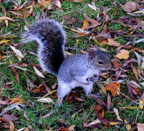 Squirrel collecting nuts
