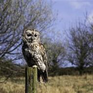 Tawny Owl-Dinah Jayes